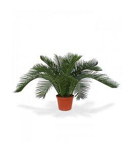 Cycas Babypalm N 50 cm