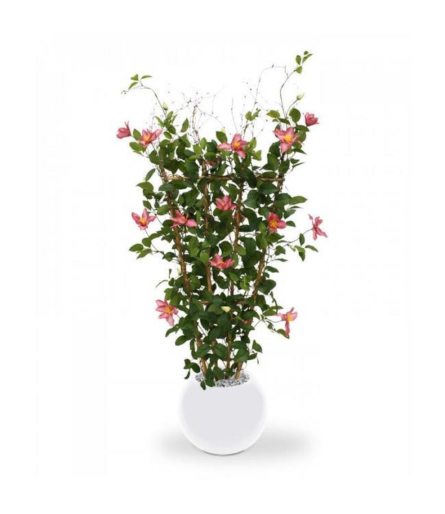 Clematis Heg 125 cm rose