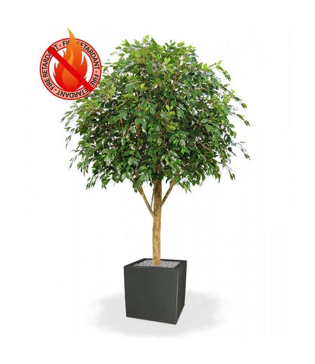 Ficus Exotica GIANT 300 cm