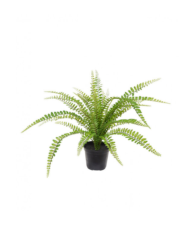 Asplenium Varen 45 cm in pot