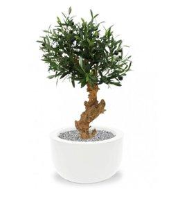 Olijf Bonsai de luxe 60 cm op voet