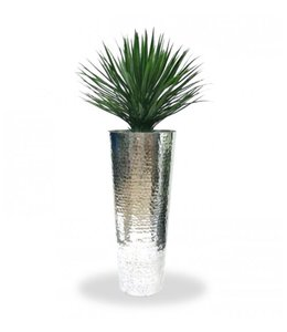 Yucca Rostrata 80cm