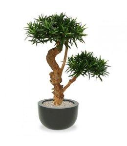 Podocarpus Bonsai Deluxe x2 65cm op voet