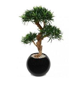 Podocarpus Bonsai Deluxe x3 65cm op voet