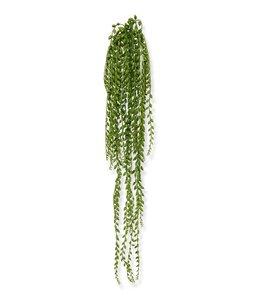 Senecio  Pearl hangplant 110 cm