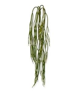 Rhipsalis Pilocarpa 65 cm