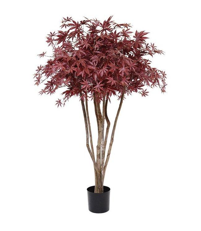 Acer de luxe Bonsai Burgundy 130 cm