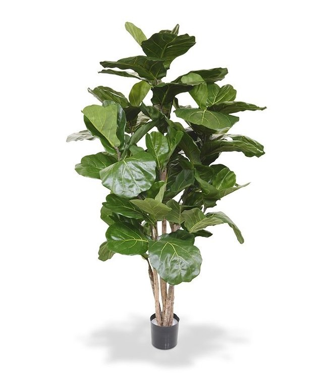 Lyrata de Luxe 170 cm of Tabaksplant