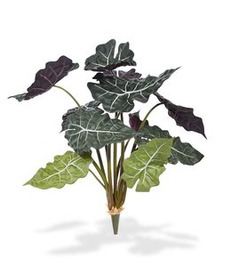 Alocasia Red Wrapped 65 cm