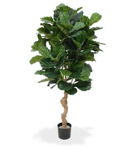 Tabaksplant of Lyrata  de luxe 155 cm