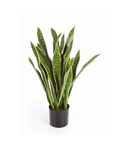 Sanseveria Bont 80 cm