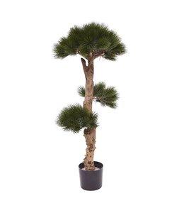 Pinus  Bonsai  110 cm