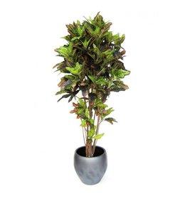 Croton Deluxe 180cm