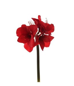 Amaryllis 70 cm rood