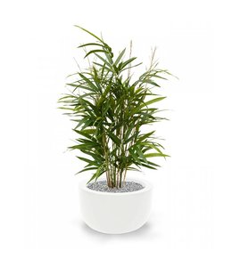 Royal Bamboe 70 cm groen