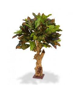 Croton 80 cm op voet
