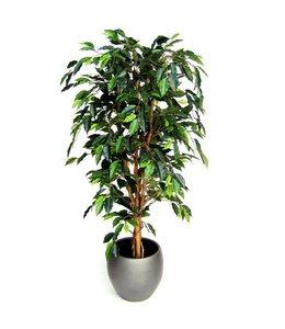 Ficus Benjamini 150cm