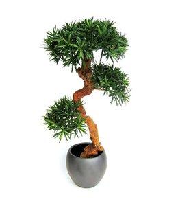 Podocarpus Bonsai 110cm