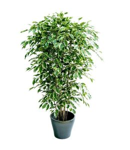Ficus Exotica Deluxe 210 cm bont