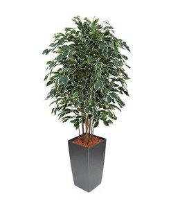 Ficus Exotica Deluxe 150cm bont