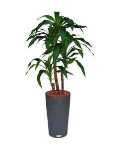 Draceana Fragrans x4 90cm