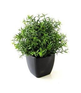 Eucalyptus 35cm in pot
