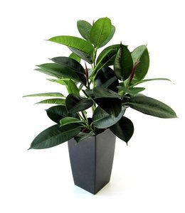 Philodendron Windowplant 50cm in pot