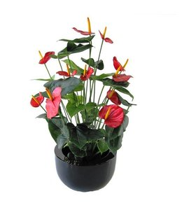 Anthurium Deluxe rood 80cm