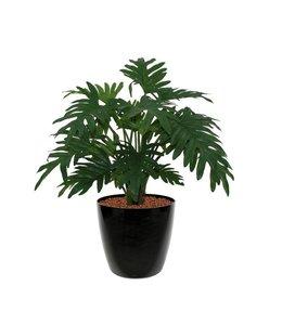 Philodendron Xanadu 50cm
