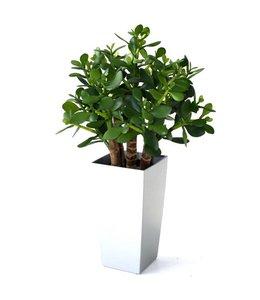 Crassula vetplant 40cm