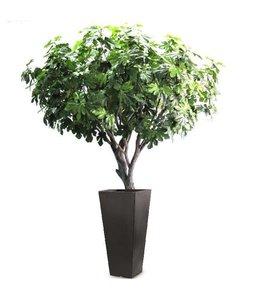 Vijgenboom Deluxe 250cm