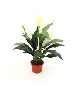Spathiphyllum 50cm in pot