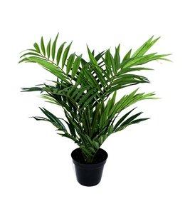 Parlour Palm 50cm in 12cm potje