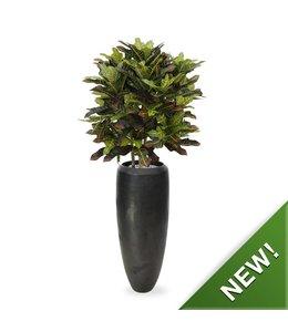 Croton Deluxe XL 90 cm