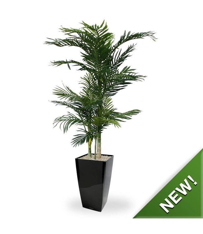 Golden Cane Areca Palm x3 140 cm