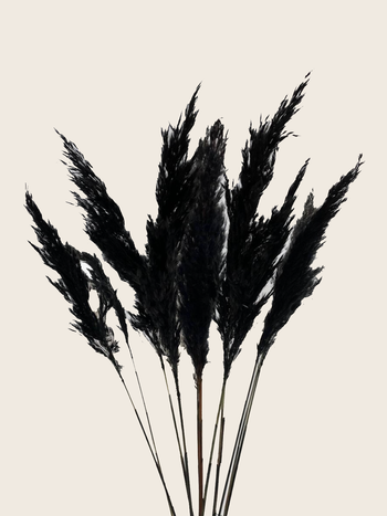 Pampas Grass Black