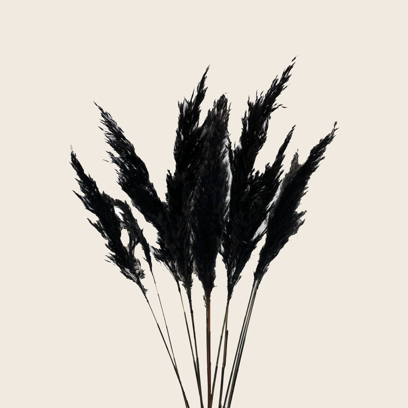 Pampas Grass Black 10pcs