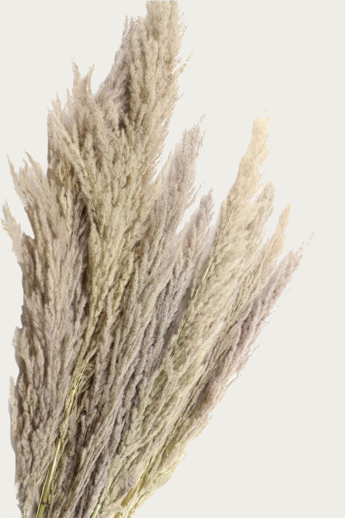 Pampas Grass Natural 8pcs