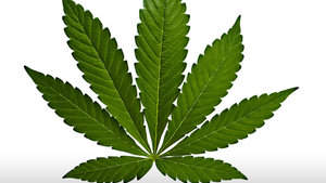 What is an Indica cannabis plant