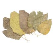 de Visvoer WebWinkel Moerbei bladeren