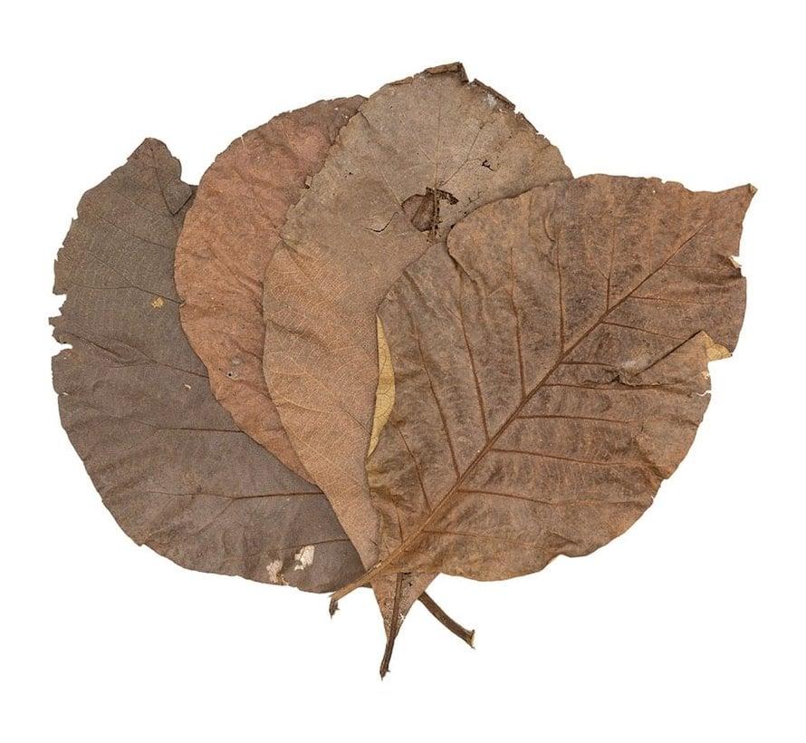Teak bladeren (10 stuks)