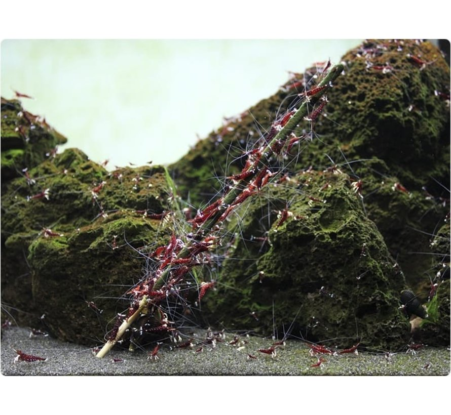 GlasGarten Shrimp Lollies - Artemia Sticks 8 stuks