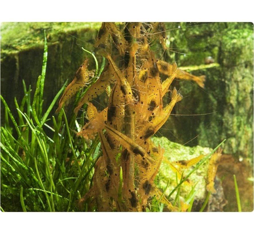 GlasGarten Shrimp Lollies - Walnoot Sticks 8 stuks