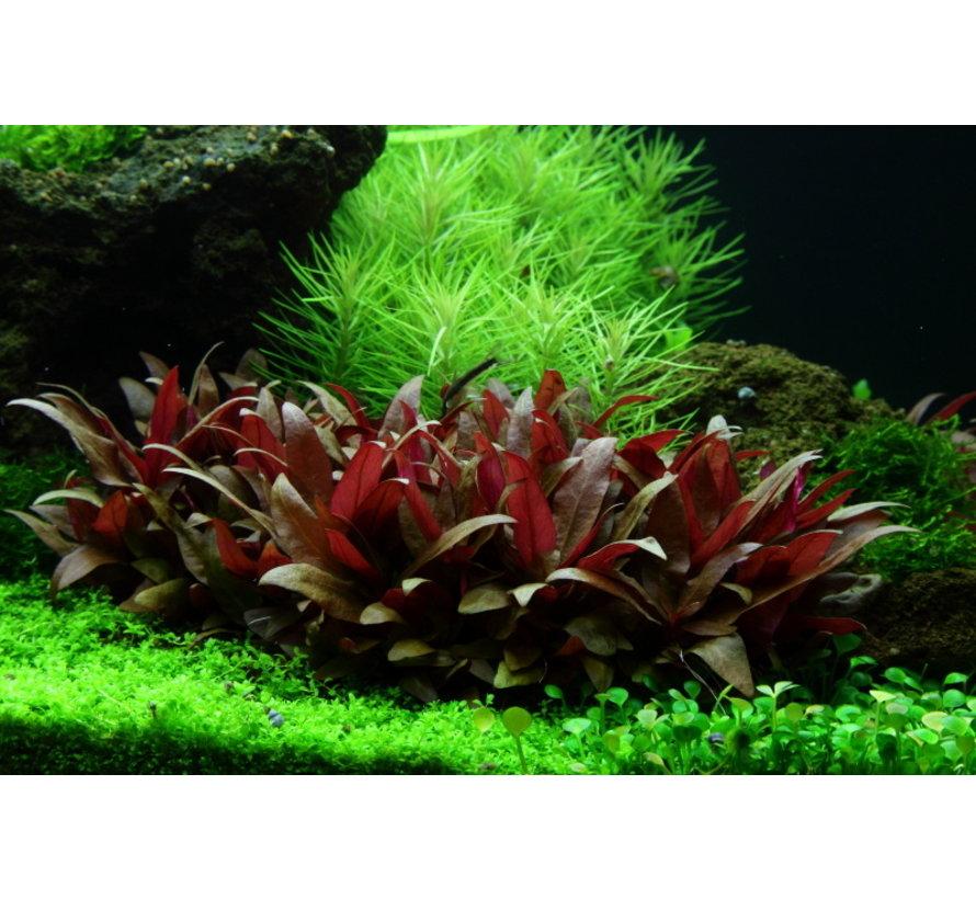 Alternanthera reineckii Mini - 1-2-GROW!