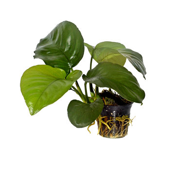 Tropica Anubias barteri caladiifolia - pot single package