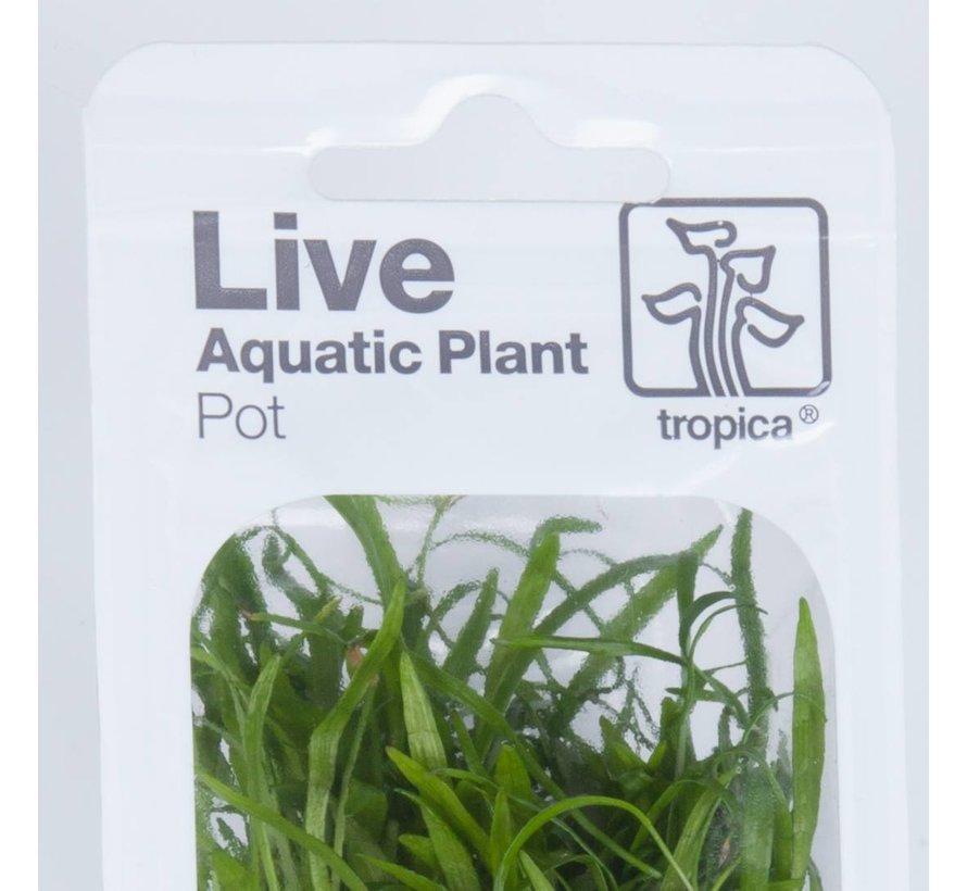 Anubias barteri caladiifolia - pot single package