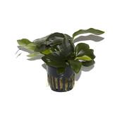 Tropica Anubias barteri nana - pot single package