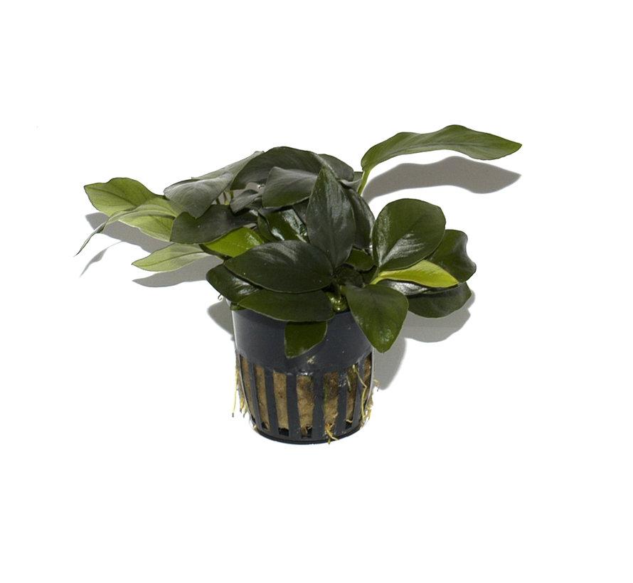 Anubias barteri nana - pot single package