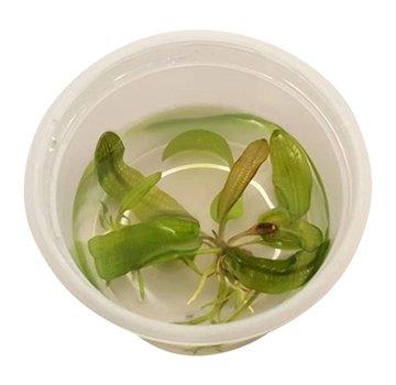 Tropica Aponogeton madagascariensis - Limited edition 1-2-Grow!
