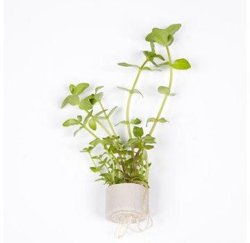 Tropica Bacopa caroliniana - Mini pot in single package